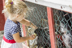 Little girl feeding a rabbit. Little girl feeding a black rabbit from cage, with a piece of apple stock photography