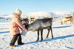 Little girl feeding reindeer. On sunny winter day in Northern Norway Stock Photos