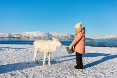 Little girl feeding reindeer. On sunny winter day in Northern Norway stock photography