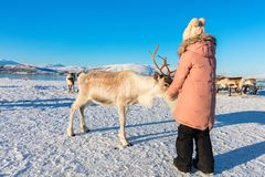 Little girl feeding reindeer. On sunny winter day in Northern Norway royalty free stock photography