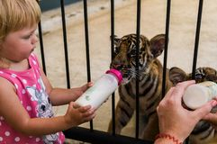 Little girl is feeding a tiger cub stock photography