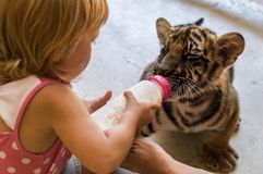 Little girl is feeding a tiger cub at the zoo stock images