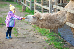 Little girl feeding two-humped Stock Photos