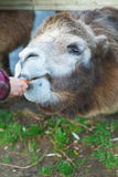 Little girl feeding two-humped camel Royalty Free Stock Images
