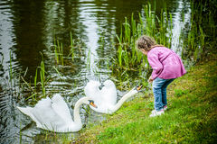Little girl feeding white swans Royalty Free Stock Image