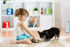 Little girl feeds Chihuahua dog in children room. Kids pet friendship stock photo