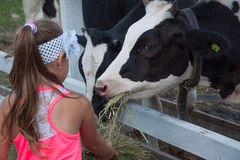 A little girl feeds a cow with hay Royalty Free Stock Image