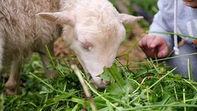 Little girl feeds the lamb with grass. Small lamb chews grass close-up, slow motion.  stock video footage