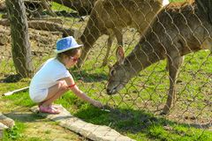 A little girl feeds a young deer in a zoo in the summer during t. He moulting period against a background of green grass. Scary ugly fur with bald patches stock photography