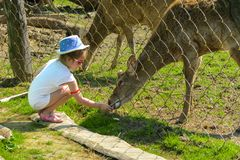 A little girl feeds a young deer in a zoo in the summer during t. He moulting period against a background of green grass. Scary ugly fur with bald patches royalty free stock image
