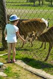 A little girl feeds a young deer in a zoo in the summer during t. He moulting period against a background of green grass. Scary ugly fur with bald patches royalty free stock photos