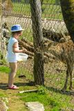 A little girl feeds a young deer in a zoo in the summer during t. He moulting period against a background of green grass. Scary ugly fur with bald patches stock photo