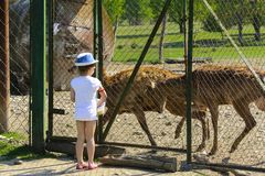 A little girl feeds a young deer in a zoo in the summer during t. He moulting period against a background of green grass. Scary ugly fur with bald patches stock images