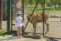 A little girl feeds a young deer in a zoo in the summer during t. He moulting period against a background of green grass. Scary ugly fur with bald patches royalty free stock images