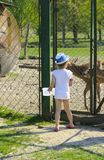 A little girl feeds a young deer in a zoo in the summer during t. He moulting period against a background of green grass. Scary ugly fur with bald patches royalty free stock photo