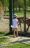 A little girl feeds a young deer in a zoo in the summer during t. He moulting period against a background of green grass. Scary ugly fur with bald patches stock image