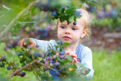 Gather blueberries. Little girl gathering blueberries outdoors royalty free stock photography