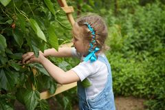 Little girl gathering harvest mulberry berries Stock Photo