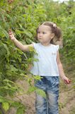 Little girl gathering raspberries Stock Photography