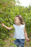 Little girl gathering raspberries Stock Image