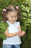 Little girl gathering raspberries Royalty Free Stock Images