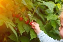 Girl gather raspberries. Little girl gathering raspberries, germany ,detail stock photo