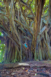Little girl and giant banyan tree Royalty Free Stock Photography