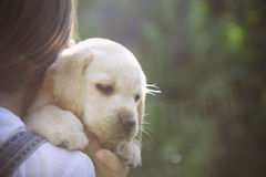 Little girl with a Golden retriever puppy. Sunset royalty free stock image