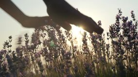 Little girl hands gently touching flowers at sunset. Concept loves feeling and tenderness. beautiful scene unity people with natur. E. body part close-up stock footage