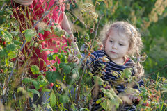 Little girl harvesting local produced organic raspberry fruits from green garden shrub Royalty Free Stock Images