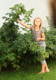 Little girl harvesting raspberries Royalty Free Stock Photos