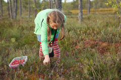Little girl harvesting wild cranberries royalty free stock image