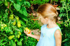 Little girl helping her mother with tomato in the garden Stock Images