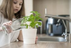 Little girl is holding a transparent glass with water and watering plant Basil Ocimum Basilicum. Caring for a new life. Hand nurturing young baby plants royalty free stock photo