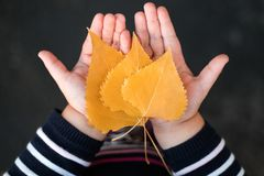 Little girl holds autumn leaves in hands. royalty free stock image