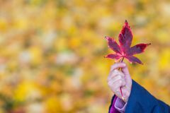 Little girl holds the maple leaf in her hand royalty free stock image