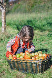 Little girl looking apples in basket with harvest Royalty Free Stock Image