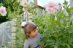 The little girl looks out because of blossoming pink dahlias.  Royalty Free Stock Image