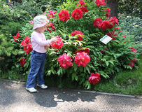 Little girl beside peony shrub royalty free stock photos