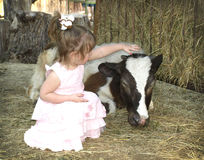 Little girl petting calf. Little girl petting a beautiful calf at the farm Royalty Free Stock Images