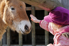 Little girl petting a horse. Little blond child is trying to fondle / pet a young horse / colt or foal at a farm on the countryside royalty free stock photo
