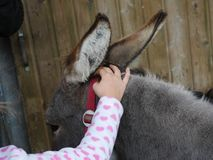Little girl petting a small donkey Stock Photography