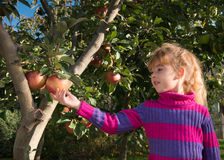 Little girl picked apples Stock Image