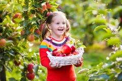 Little girl picking apple in fruit garden Royalty Free Stock Photo
