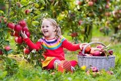 Little girl picking apple in fruit garden Royalty Free Stock Image
