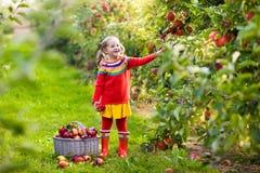 Little girl picking apple in fruit garden Stock Images