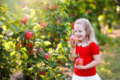Little girl picking apple in fruit garden Stock Images
