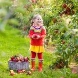 Little girl picking apple in fruit garden Stock Image