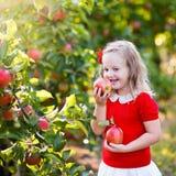 Little girl picking apple in fruit garden Royalty Free Stock Photos