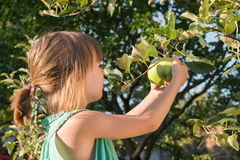 Little girl picking apple Royalty Free Stock Images